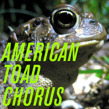 American Toad Chorus cover art